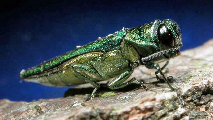 City of Jamestown Emerald Ash Borer Mitigation